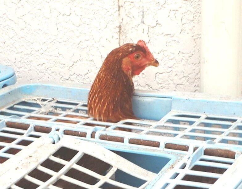 鶏 ニワトリ ボリスブラウン