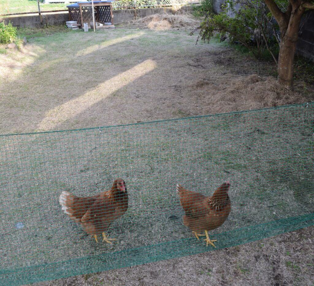 鶏 ニワトリ ボリスブラウン 放し飼い