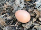 卵を産んだ!!~ニワトリの飼い方