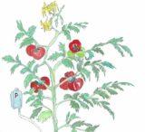 超簡単 アクアポニックスでトマトを育てる①