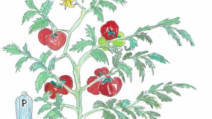 アクアポニックス トマト