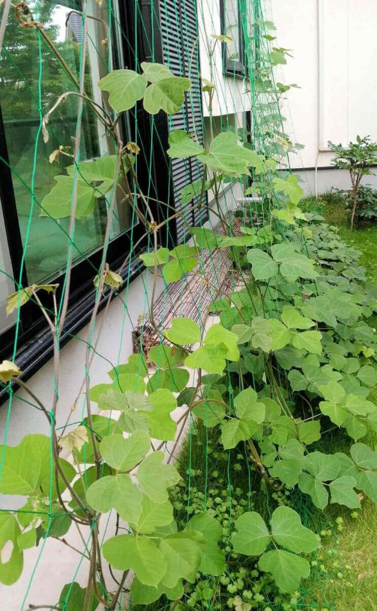 緑のカーテン 葛