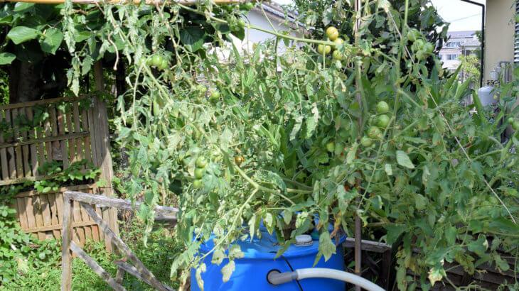 超簡単 アクアポニックスでトマトを育てる⑤