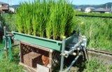 稲作をしよう④水田ビオトープ出穂