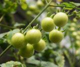 超簡単 アクアポニックスでトマトを育てる⑥