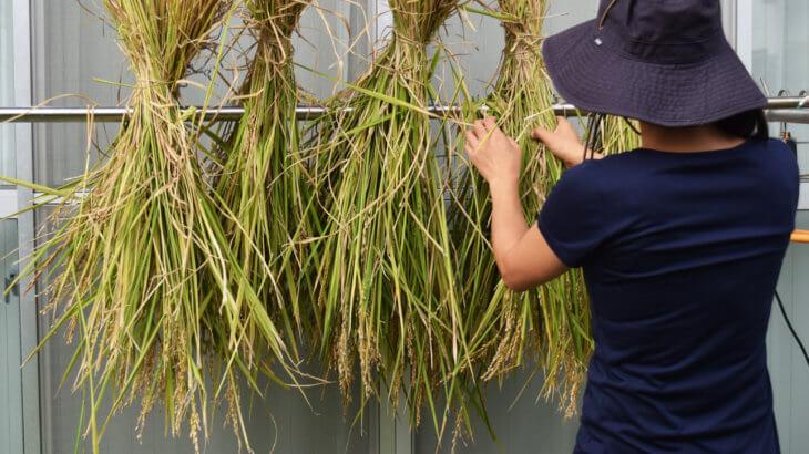 稲作をしよう⑤水田ビオトープ実りの秋