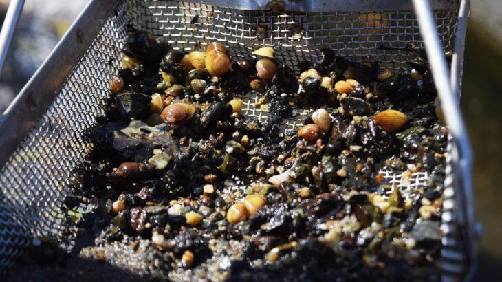 シジミの採取方法