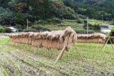稲作をしよう⑦脱穀、籾摺り、精米~水田ビオトープ